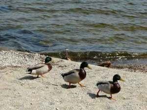 Some ducks.  Yesterday.
